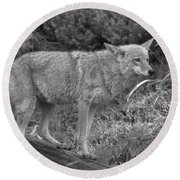 Listening Intently Closeup Black And White Round Beach Towel