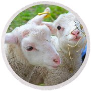 Little Lambs Eat Straw Not Ivy Round Beach Towel