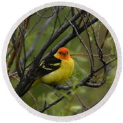 Looking At You - Western Tanager Round Beach Towel