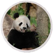 Lounging Giant Panda Bear With A Shoot Of Bamboo Round Beach Towel