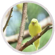 Lovable Little Budgie Parakeet Living In Nature Round Beach Towel