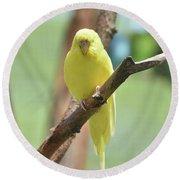 Lovable Yellow Budgie Parakeet Bird Up Close Round Beach Towel