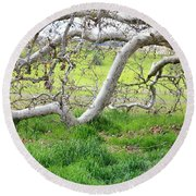 Low Branches On Sycamore Tree Round Beach Towel