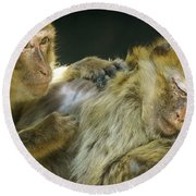 Macaques Jerez De La Frontera Spain Round Beach Towel