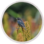 Male Cowbird Feasts On Milo In Shiloh National Military Park, Tennessee Round Beach Towel