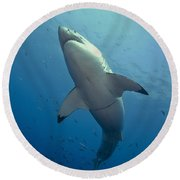 Male Great White Sharks Belly Round Beach Towel