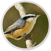 Male Red Breasted Nuthatch 2151 Round Beach Towel