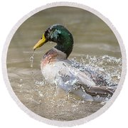 Mallard Duck Bathing Time In Dam Round Beach Towel