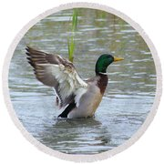 Mallard Duck Landing In Pond Round Beach Towel