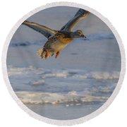Mallard Landing Over Ice Round Beach Towel