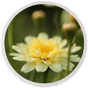 Marguerite Daisy Named Madeira Crested Primrose Round Beach Towel