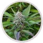Medicinal Marijuana Growing Round Beach Towel
