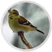 Molting In January? - American Goldfinch Round Beach Towel