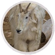 Molting Mountain Goat Round Beach Towel