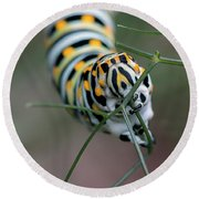 Monarch Caterpillar Clutches Dill In Pincers, Macro Round Beach Towel