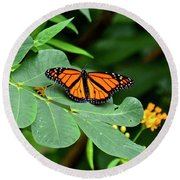 Monarch Butterfly Resting On Cassia Tree Leaf Round Beach Towel