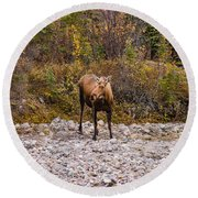 Moose Pawses In Mid-drink Round Beach Towel
