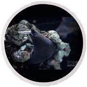 Moray Eel Eating Little Fish Round Beach Towel