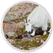 Mountain Goats On Mount Bierstadt In The Arapahoe National Fores Round Beach Towel