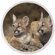 Mountain Lion Cubs On Rock Outcrop Round Beach Towel