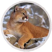 Mountain Lion On Snow-covered Rock Outcrop Round Beach Towel