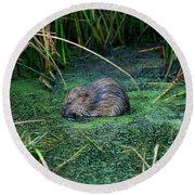 Mr. Muscrat Round Beach Towel