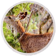 Mule Deer Foraging On Pine On A Colorado Spring Afternoon Round Beach Towel