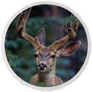 Mule Deer In Velvet 02 Round Beach Towel