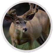 Mule Deer In Velvet 03 Round Beach Towel