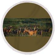 Mule Deer In Velvet 04 Round Beach Towel