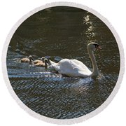 Mute Swan With Three Cygnets Following Round Beach Towel