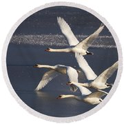 Mute Swans In Flight Round Beach Towel