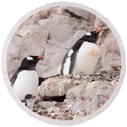 Nesting Gentoo Penguins Round Beach Towel