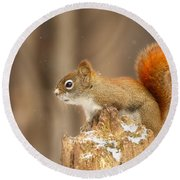 North American Red Squirrel In Winter Round Beach Towel