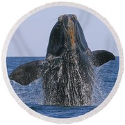 North Atlantic Right Whale Breaching Round Beach Towel by Tony Beck