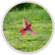 Northern Cardinal In Flight Round Beach Towel