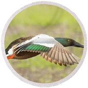 Northern Shoveler On The Wing Round Beach Towel