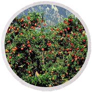 Okanagan Valley Apples Round Beach Towel