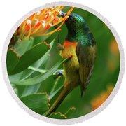 Orange-breasted Sunbird Feeding On Protea Blossom Round Beach Towel