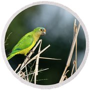 Orange-fronted Parakeet Round Beach Towel
