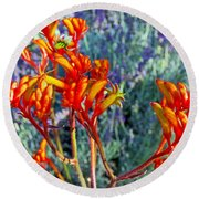 Yellow-orange Kangaroo Paws At Pilgrim Place In Claremont-california- Round Beach Towel
