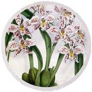 Orchid, O. Alexandrae Plumatum, 1891 Round Beach Towel