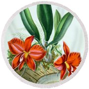 Orchid, Sophronitis Grandiflora, 1880 Round Beach Towel