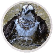 Osprey Splashing In Water Round Beach Towel