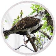 Osprey With Snack Round Beach Towel