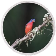 Painted Bunting Curiosity Round Beach Towel