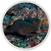 Pair Of Giant Moray Eels In Hole Round Beach Towel