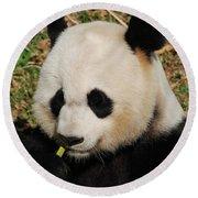 Panda Bear Eating Some Yummy Bamboo Shoots Round Beach Towel