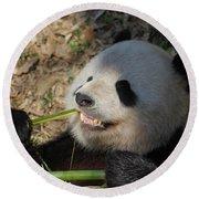 Panda Bear Showing His Teeth As He Munches On Bamboo Round Beach Towel