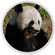 Panda Bear Snacking On A Bamboo Shoot Round Beach Towel